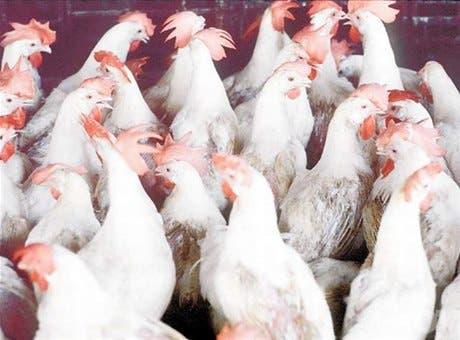 Sector avícola teme al TLC con EU