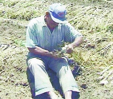 y.com.La siembra de ajo agoniza en el Valle de Constanza