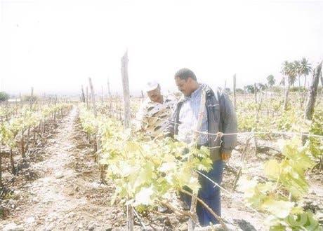 Impulsarán cultivo de uva en Bahoruco