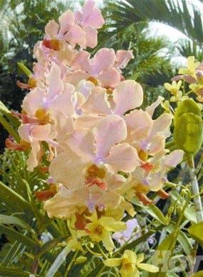 La orquídea, reina de las flores