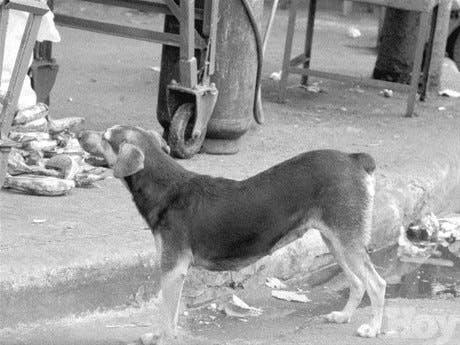 90 mil perros realengos andan por las ciudades y campos del país<BR>(En la capital hay 29 mil)