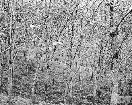 El Caucho un cultivo que protege el ambiente y la economía