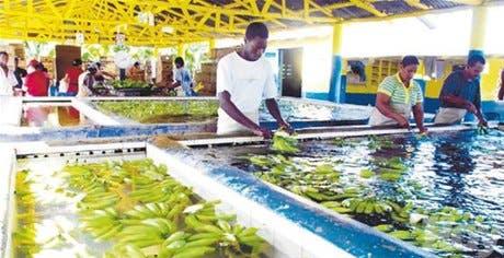 Caribe critica acuerdo sobre banano de UE y Latinoamérica