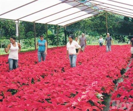 Resultado de imagen para cultivos de flores en jarabacoa