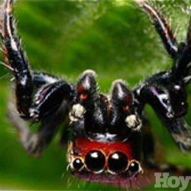 Una araña africana puede prevenir la malaria, según científicos