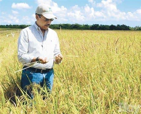 Agricultura: alza de arroz en el exterior favorece cereal criollo