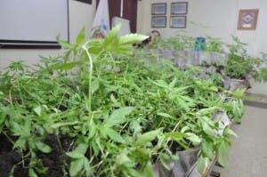 Decomisan 693 plantas de marihuana en una finca de Baní