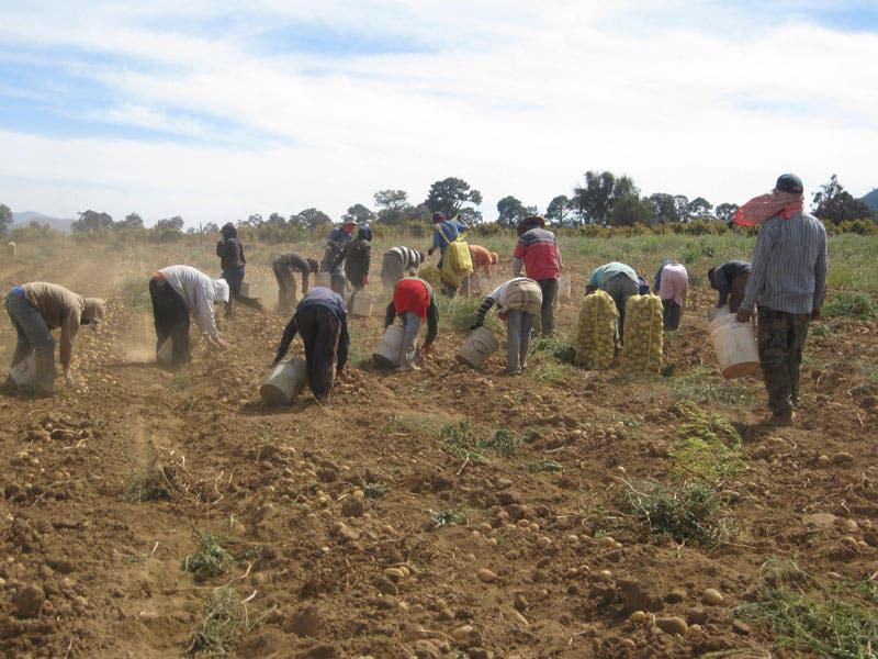 Los productores aseguran que hay suficientes papas sembradas.