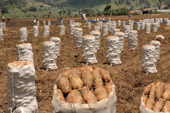 La papa es uno de los productos de origen agropecuario cuyo consumo aumenta durante las festividades navideñas.