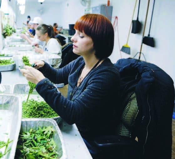 Trabajadores procesan  marihuana con fines medicinales en Denver
