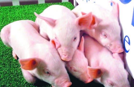 Agricultura; China Popular dona US$100 mil para frenar fiebre porcina