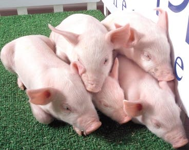 GENETICALLY ALTERED PIGS