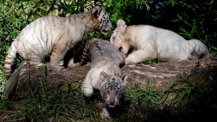 Tres crías de tigres de Bengala blanco juegan en si encierro en el zoológico de Buenos Aires, Argentina, el miércoles 16 de abril de 2014. (AP Photo/Natacha Pisarenko).