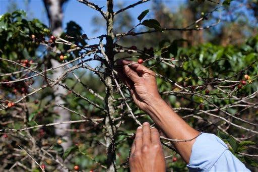 La devastadora enfermedad del café que afecta a Centroamérica