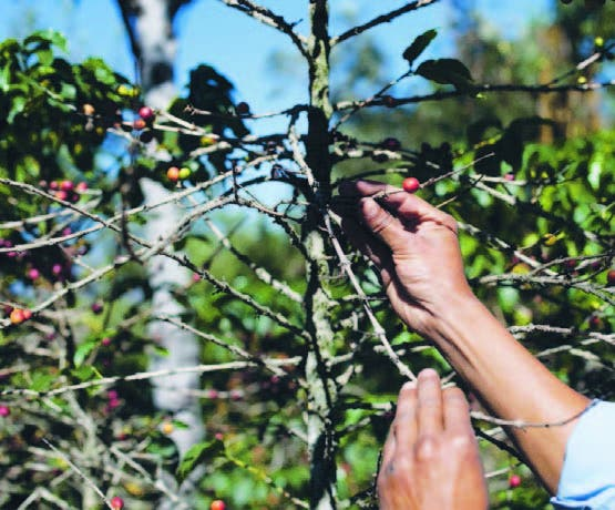 La roya del café afecta países de Centroamérica