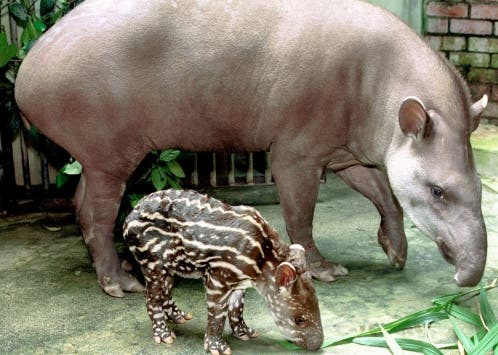 BABY TAPIR AND MOTHER