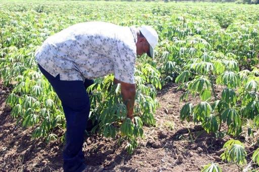 LA VEGA.- Agricultores de la Vega