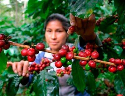 Café-Guatemala-roya