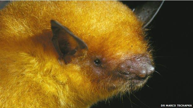 El murciélago dorado boliviano, flamante nueva especie