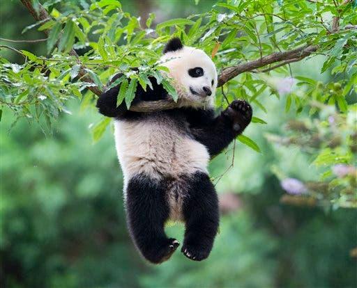Oso panda, archivo
