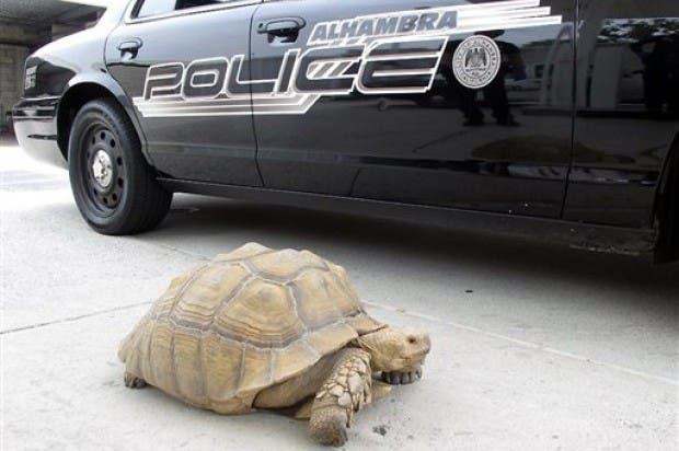 Hallan tortuga gigante en calle de California