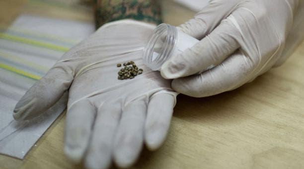 Efectivos Cesfront decomisan marihuana