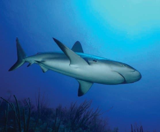El triste final del tiburón que fue encontrado por pescadores a orillas de la playa Sosúa