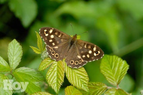 """TO GO WITH AFP STORY BY MARLOWE HOOD A handout picture taken on June 13, 2010 and released by the Nature press service shows a speckled wood butterfly ('Pararge aegeria'). Only aggressive efforts to rein in global warming coupled with a rethinking of the British countryside will save many native species of butterfly, according to a study published on August 10. """"Widespread, drought-sensitive butterfly population extinction could occur as early as 2050,"""" scientists reported in the journal Nature Climate Change. AFP PHOTO / NATURE PRESS SERVICE / JIM ASHER  -- RESTRICTED TO EDITORIAL USE - MANDATORY CREDIT """"AFP PHOTO / NATURE PRESS SERVICE / JIM ASHER"""" - NO MARKETING - NO ADVERTISING CAMPAIGNS - DISTRIBUTED AS A SERVICE TO CLIENTS - TO ILLUSTRATE THE STORY AS SPECIFIED IN THE CAPTION --"""
