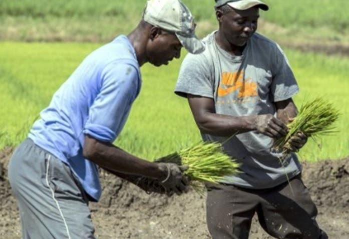 Haitianos trabajan en EEUU