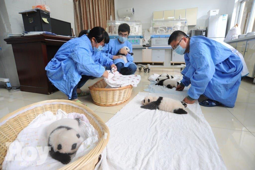 Pandas-bebes-10
