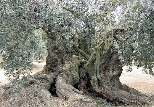 Un español en busca de olivos bimilenarios en el Líbano
