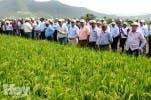 Productores de arroz.