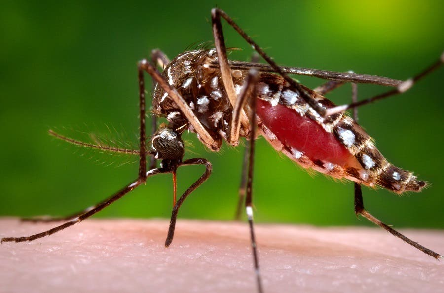 FILE - This 2006 file photo provided by the Centers for Disease Control and Prevention shows a female Aedes aegypti mosquito in the process of acquiring a blood meal from a human host. The The Centers for Disease Control and Prevention on Tuesday, Jan. 19, 2016, announced new guidance for doctors whose pregnant patients may have traveled to regions with a tropical illness linked to birth defects. Officials say doctors should ask pregnant women about their travel and certain symptoms, and, if warranted, test them for an infection with the Zika  virus. The virus is spread through mosquito bites.  (James Gathany/Centers for Disease Control and Prevention via AP, File)