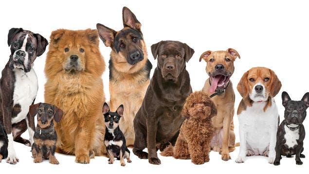 Los perros procesan lenguaje en zonas distintas del cerebro