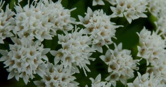 00-ageratina-altissima-flor-medium