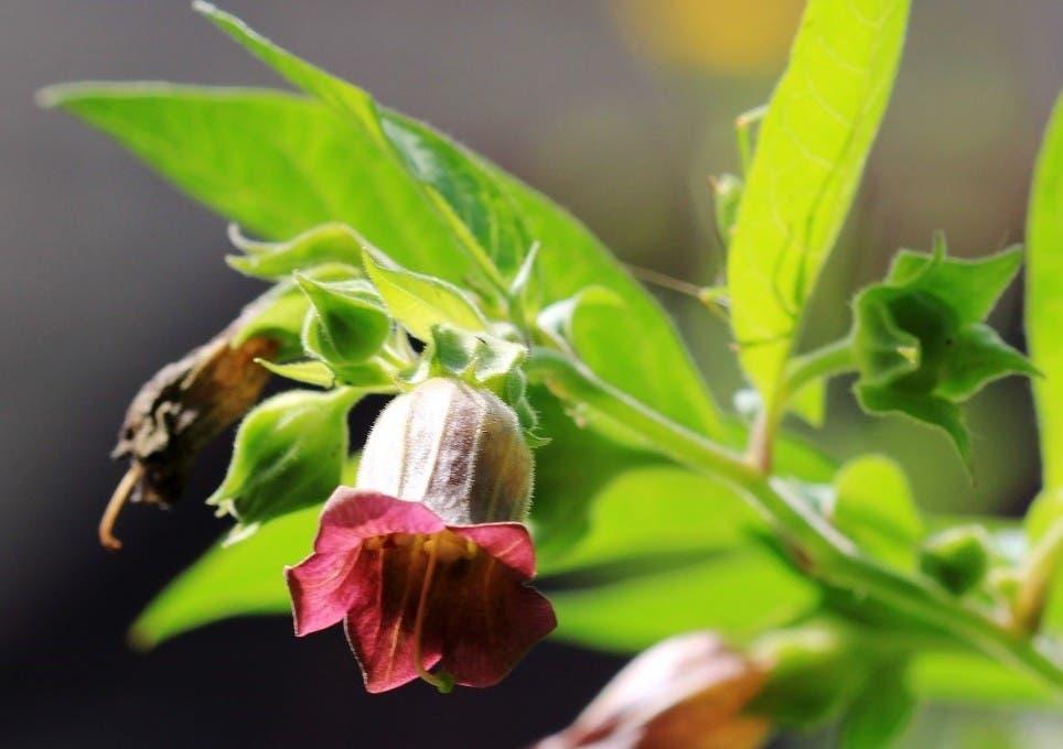 flor-de-belladona