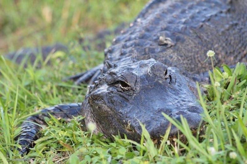Acusan a hombre de alimentar caimán con perros en Puerto Rico