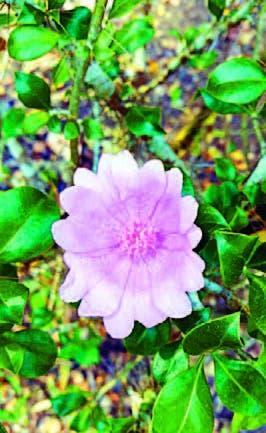 La Rosa de Bayahíbe, una flor nacional que no es tan popular