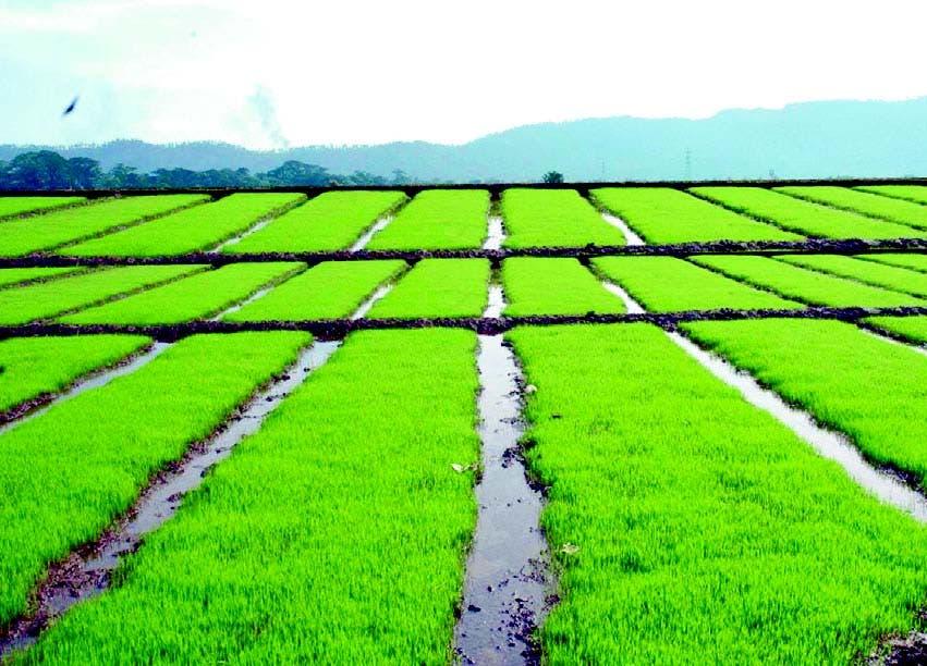 Por sequía en San Juan de la Maguana y bajo nivel de la presa de Sabaneta, Indrhi restringe siembra de arroz