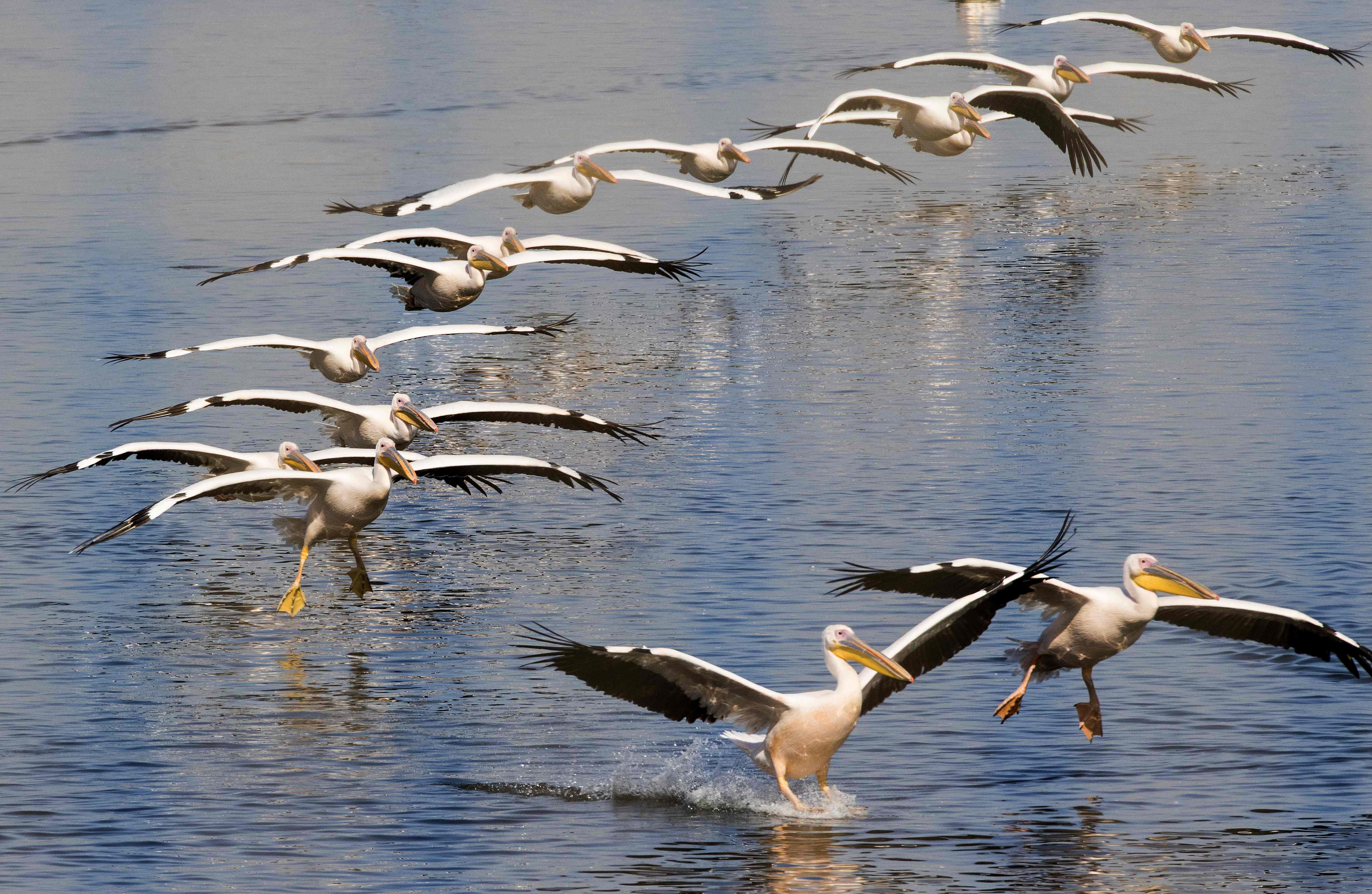 Great white pelicans land at a water reservoir in Mishmar HaSharon north of the Israeli city of Tel Aviv on October 13, 2016.  Thousands of migrant Pelicans pass though Israel on their way to Africa then again when they return to Europe in the summer. Local farmers feed the birds in order to avoid damage to the commercial fish pools.  / AFP / JACK GUEZ