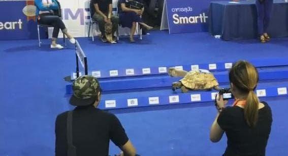 El cuento se hizo realidad; tortuga le gana a una liebre en carrera