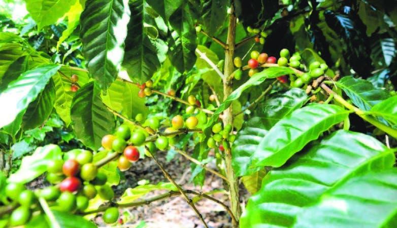 La renovación de café ha despertado interés en los productores de Barahona, Pedernales, Jimaní y Baoruco