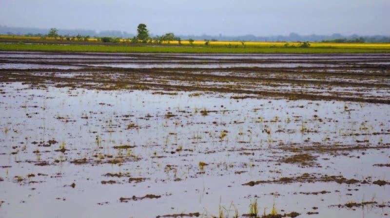 Miles de tareas de arroz bañadas por el desbordamiento del río Yuna en Arenoso y La Reforma, provincia Duarte ayer