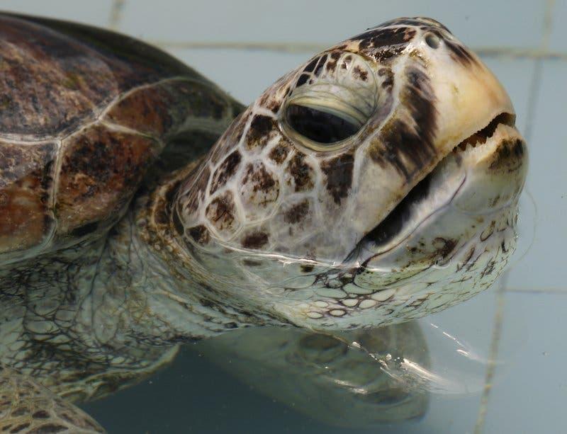 Extraen 915 monedas a tortuga marina en Tailandia