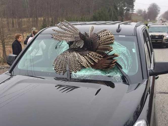 Un pavo se estrella contra el parabrisas de un vehículo