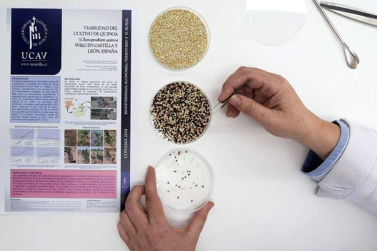 Semillas de quinoa de las variedades tricolor y blanca perlada en el laboratio. EFE/Raúl Sanchidrián.