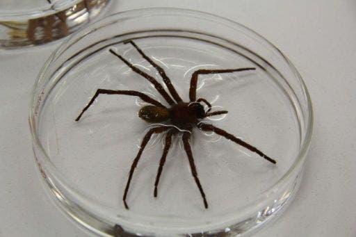 Nueva especie de araña mexicana de 23 cm sorprende por su tamaño
