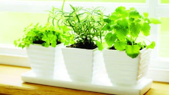 Plantas Para Cocina | Hoy Digital Plantas De Hierbas Para Tu Cocina
