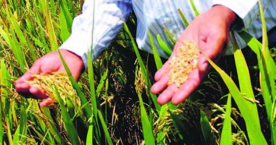 Font Gamundi con avanzada tecnología  tratamiento de arroz