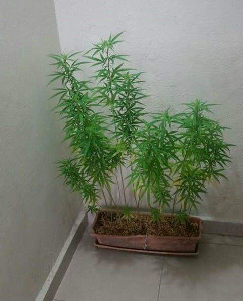 En menos de un mes las autoridades descubren dos plantaciones de marihuana en La Romana